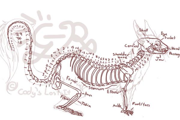 Ferret anatomy diagram