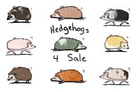 Some Adoptable Hedgehogs